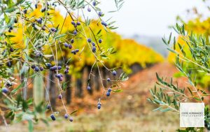 Olive Trees and Fall Foliage, Autumn Colors, Seasons Change