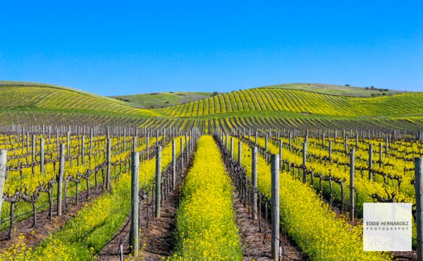 Spring Mustard Bloom, Napa Valley