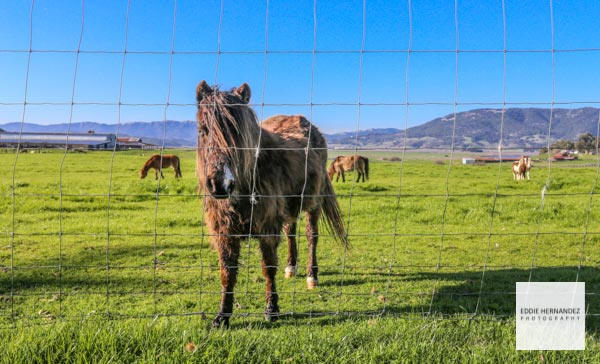 Sonoma County Farm, Wine Country Pony