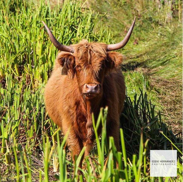 Highland Cattle, Marin County, CA