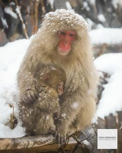Snow Monkey Park, Mother and Child - Jigokudani Monkey Park, Japan