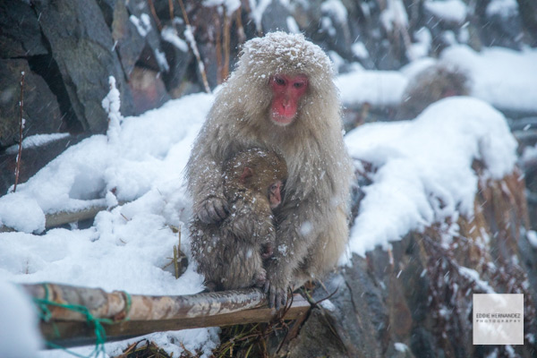 Japanese Snow Monkeys, Macaque